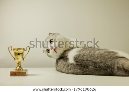 Scottish fold cat with his award. Champion Cat lying on the Table with His Trophy. cat's show Stock fotó ©