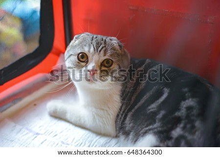 Scottish fold Fold cat Scottish Fold