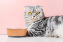 Scottish fold gray cat eats dry food from a bowl. Pet nutrition concept, food selection. Pink background, minimalism.