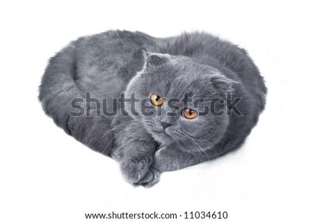 scottish fold grey adorable cat