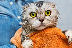Scottish fold just washed cat with bright green eyes