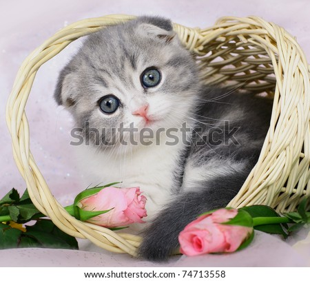 Scottish Fold kitten in a basket of roses.