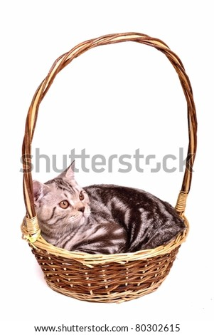 Scottish fold kitten lying in a basket isolated on white background