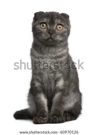Scottish Fold Kitten, 3 months old, sitting in front of white background