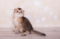 Scottish Fold kitten on the background