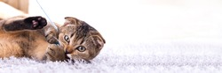 Scottish fold kitten playing with a toy on the carpet by the fireplace.