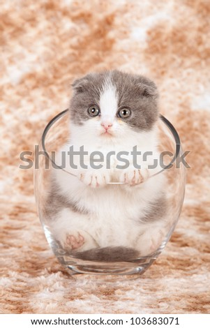 Scottish Fold kitten sitting inside clear glass vase on brown mottled fake fur background