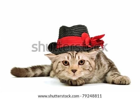Scottish fold kitten wearing black hat isolated on white background