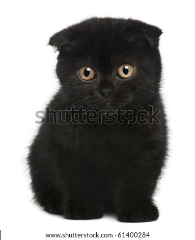 Scottish Fold Kitten, 11 weeks old, sitting in front of white background