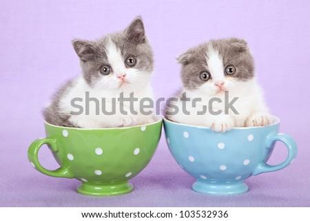Scottish Fold kittens sitting inside cups on lilac purple background