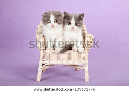 Scottish Fold kittens sitting on miniature chair on lilac purple background