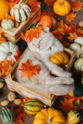 Scottish fold lies in basket. Cat and pumpkins. Cat and Autumn. A Yellow baby British shorthair kitty with halloween pumpkins at brown autumn background