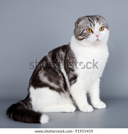Scottish fold on grey background