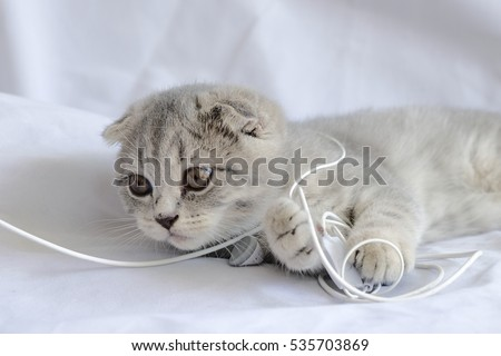 Scottish fold  tabby kitten playing earphones  with white background
