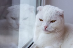 Scottish fold white cat looks sadly out the window. White angry cat is reflected in the window
