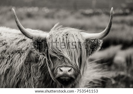 Scottish Highland cattle - Shutterstock ID 753541153