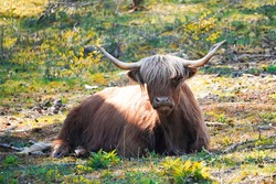 Scottish highland cattle, Bos taurus taurus. Old breed of cattle from Scotland with long fur. Herbivores, ungulates and gregarious animals.