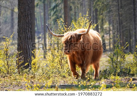 Scottish highland cattle, Bos taurus taurus. Old breed of cattle from Scotland with long fur. Herbivores, ungulates and gregarious animals. Stockfoto ©