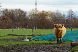 Scottish Highland Cattle bull with big horns stands on a meadow. Looking at the camera.