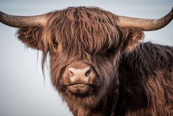 Scottish Highland Cattle  newborn sunset
