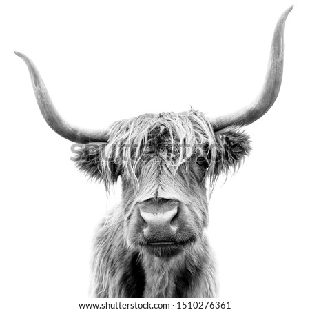 Scottish Highland Cattle on white background.