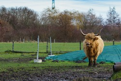 Scottish highland cattle with big horns. Beautiful hairy bull standing on green meadow.