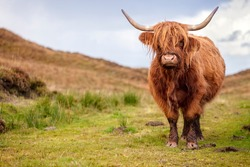 Scottish Highland Cow on the Isle of Skye, Scotland with copy space
