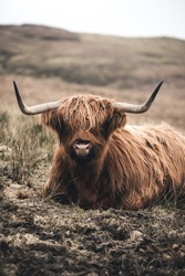 Scottish highland cow, portrait photo