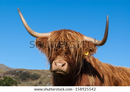 Scottish Highland Cow portrait with big horns