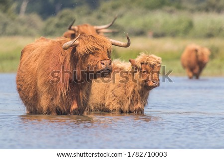 Scottish Highland Cows in the Netherlands Сток-фото ©