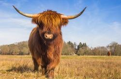 Scottish highlander cow in the Hondstongen nature reserve in Drenthe, Netherlands