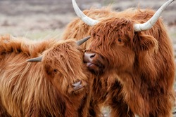 Scottish highlander or Highland cow cattle (Bos taurus taurus) mother showing affection to her calf in Deelerwoud in the Netherlands.