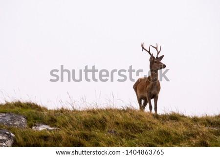 Scottish Highlands Red Deer Stag, Isle of Mull, Cervus elaphus #1404863765