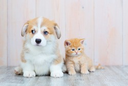 Scottish kitten and puppy Corgi sitting on the floor