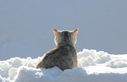 Scottish kitten back in the snow