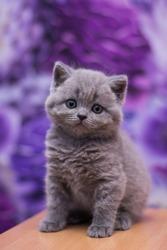scottish kitten british cat munchkin