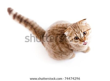 Scottish kitten fold isolated top view