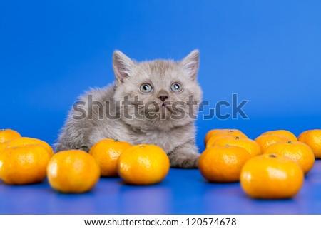 Scottish kitten in Mandarin