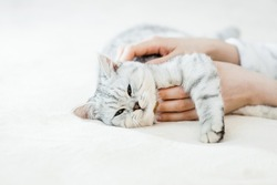 Scottish kitten in the hands of a girl.Funny gray cat.
