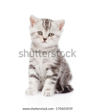 Scottish kitten looking at camera. isolated on white background - Shutterstock ID 170603039