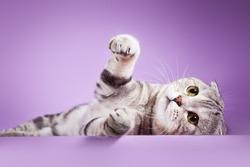 Scottish kitten, pedigreed cat