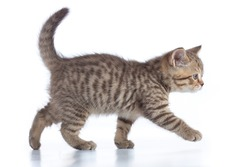 scottish kitten walking isolated on white background