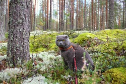 Scottish lop eared grey cat in the forest, all covered with green moss, pine tree trunks, mushroom picker, hunter, on a walk