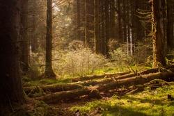 Scottish Pine Forest in Spring
