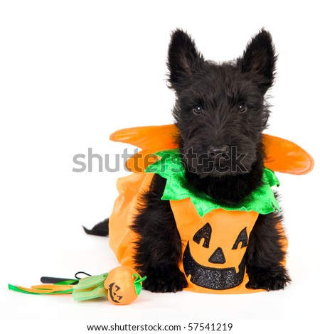 Scottish puppy in halloween pumpkin outfit, on white background