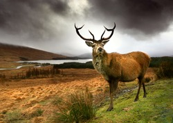 Scottish Red Deer Stag in Glencoe