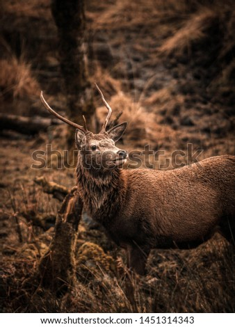 Scottish red deer stag in nature #1451314343