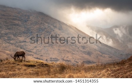 Scottish red deer stag in nature #1451314355