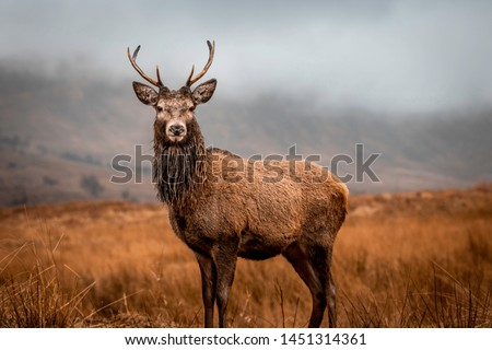 Scottish red deer stag in nature #1451314361
