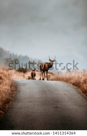 Scottish red deer stag in nature #1451314364